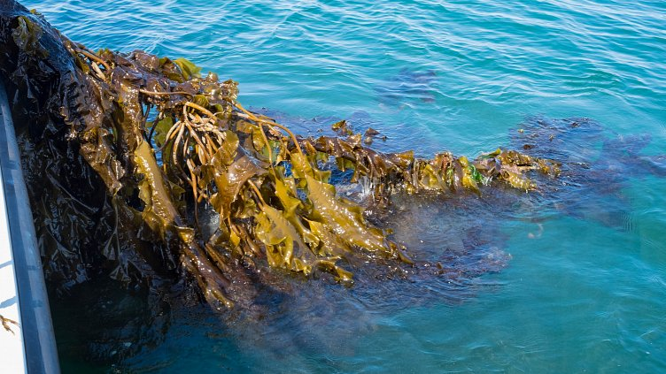 Seeing the Potential in Seaweed