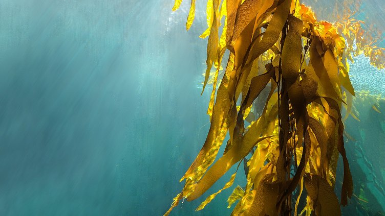 Collaboration produces the largest batch of farmed seaweed in the UK to date